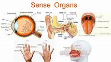 Muscular System Sense Organs Class 6 To 10th Std