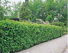 haie laurier 10 lauriers cerises prunus haie de 6 m arbuste