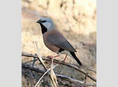 Black throated finch   Wikipedia