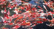 Cara Jitu Ternak Ikan Koi Dibahas Tuntas Disini Wajib Coba