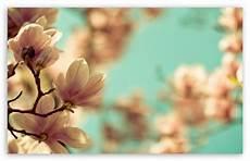 magnolia flower iphone wallpaper magnolia flowers 4k hd desktop wallpaper for 4k ultra hd