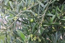 gelbe blätter am olivenbaum k 252 belpflanzen pflege hausgarten net