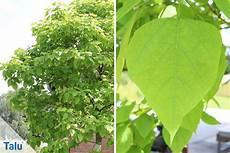 kugel trompetenbaum nana schneiden und 220 berwintern