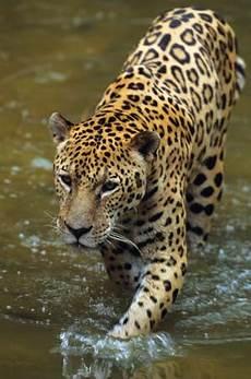 jaguar where do they live jaguar mammal britannica