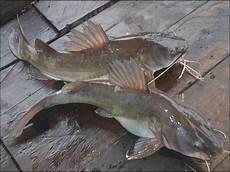 Gambar Ikan Baung Laut Dan Air Tawar Ukuran Besar Dan Kecil