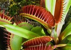 Venusfliegenfalle Haltung Der Fleischfresser In Pflanzenform