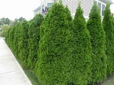 thuja hecke pflanzen hedging greenshutters garden centre