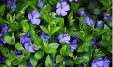 couvre sol sans entretien 11 magnifiques couvre sols pour votre jardin trucs pratiques