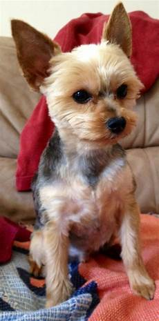 yorkie haircuts pictures summer cuts 1000 images about chorkie haircuts on pinterest