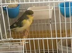 uccellini in gabbia gabbia aperta uccello vivo mpg