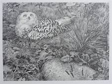Snowy Owl 15  Pencil Sketch Carl Brenders Wildlife Art