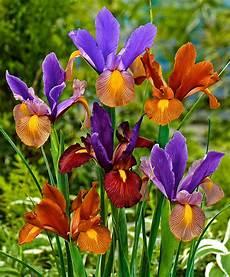 iris fiore coltivazione acquista iris olandesi in mix tiger bakker