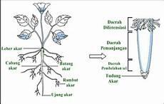 Akar Tumbuhan Fungsi Struktur Dan Jenis Jenis Akar