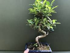 bonsai ficus benjamini foliage plants page 2