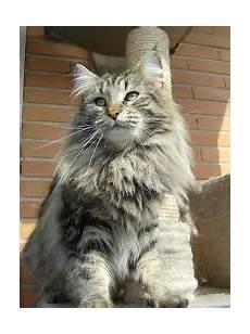 gatti persiani costo dedicato ai gatti norvegesi e certosini