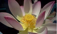 fiore della rinascita il giardino delle naiadi fior di loto la rinascita