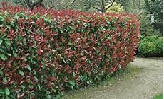 Glanzmispel Hecke Geschnitten 00933131 Florapress 0