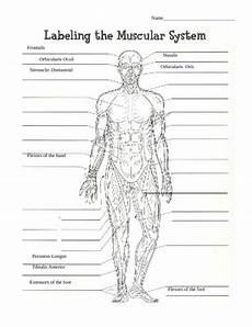 30 label muscular system worksheet labels database 2020