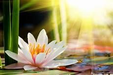 fiore loto 12 simboli potenti gocce di cosmo