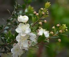 fiori di mirto la pianta di mirto ecco le sue caratteristiche e come