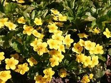 bodendecker gelb winterhart waldsteinie dreiblatt golderdbeere waldsteinia ternata