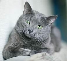 blue cats russian blue cat knowledge base lookseek