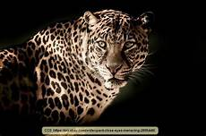 panther jaguar leopard what s the difference between cheetahs cougars jaguars leopards mountain lions panthers