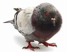 Pigeon Quelle Solution Naturelle Contre Les Pigeons