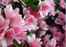 fiori azalee azalea vendita piante on line solopiante it