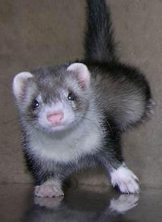 ferret pictures photos