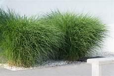 Gräser Im Kübel Als Sichtschutz - ziergr 228 ser 187 pflanzen pflegen schneiden und mehr
