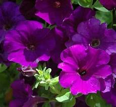25 Pelleted Seeds Opera Supreme Blue Trailing Petunia