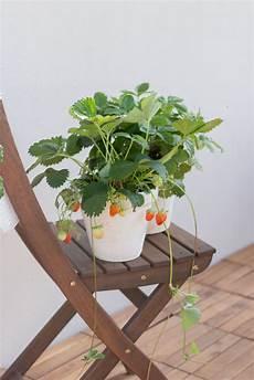 alles 252 ber erdbeeren egal ob balkon oder garten
