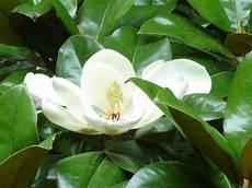 magnolia fiore piante e fiori magnolia