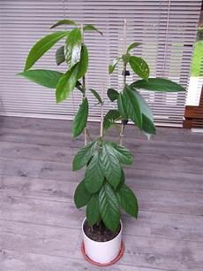 Plantation D Un Noyau D Avocat Tropical 10 Mois Plus Tard