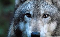 35 bilder wolf kostenlos besten bilder ausmalbilder