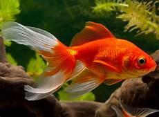goldfisch haltung im teich lieblingsfisch der deutschen der goldfisch zooroyal magazin