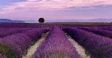 Lavender Farm Photo mayfield lavender farm park in united kingdom