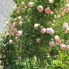 rosier grimpant de ronsard 174 plantes et jardins