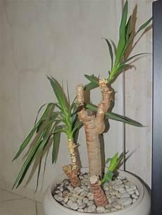 Ajouter Des Branches 224 Un Yucca