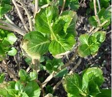 Hortensien Krankheiten Blätter - neuaustrieb gelb mein sch 246 ner garten forum