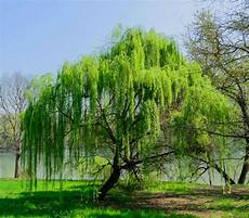 Weeping Willow Planting Pruning And Advice On Caring