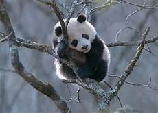 Hd Wallpapers Top Quality Pictures Panda Beautiful Cool