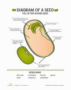 parts of a seed quiz worksheet education com