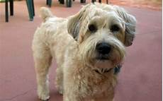 haircuts for wheaten terriers wheaten terrier haircut styles wheaten terrier haircut styles 600x375px stuff to try