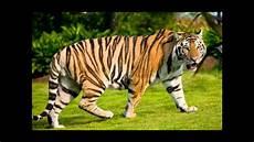 Suara Harimau