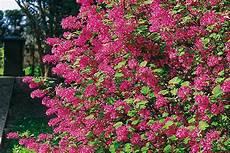 schnell wachsende sträucher sichtschutz pflanzen schnellwachsend immergr 252 n sararussew