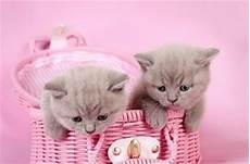 pink kitten wallpaper cat images kittens in a pink basket cats animals background