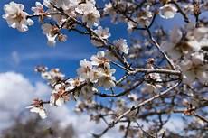 fiori mandorlo fiori di mandorlo juzaphoto