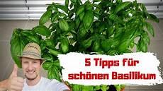basilikum pflanzen 5 tipps so wird er gro 223 gesund